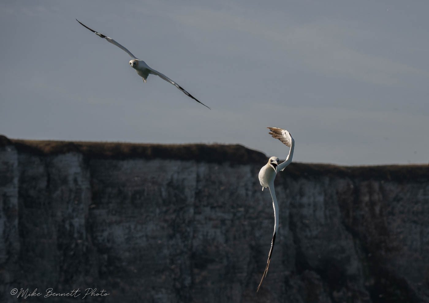 Gannet about to dive